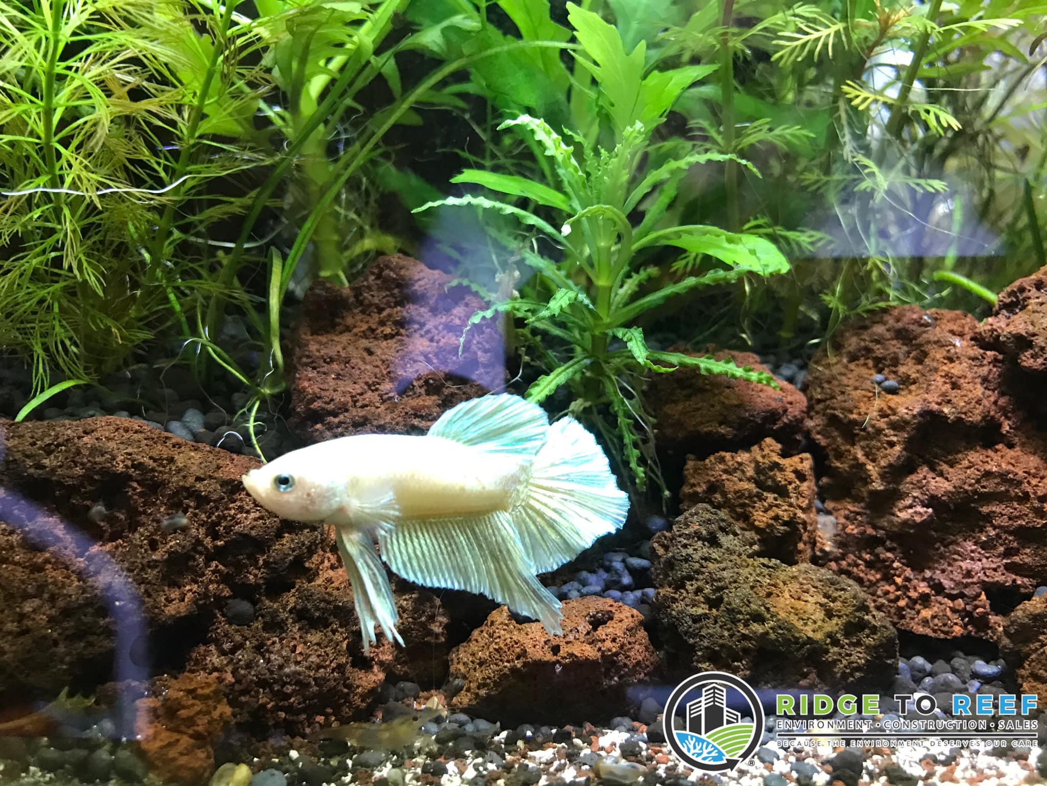 """Triton: a """"Golden"""" Betta Fish"""
