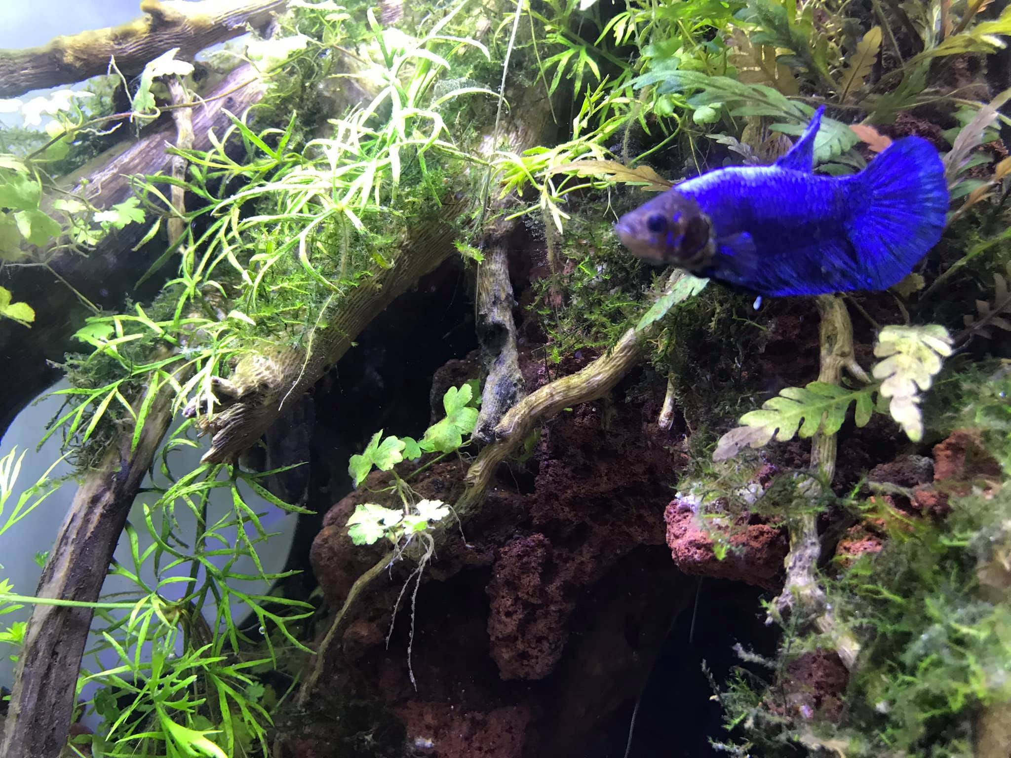 Blue our oldest Round Tail Betta who succumbed to swim bladder disease